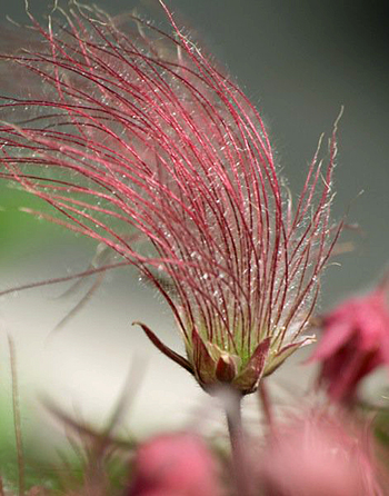 prairie smoke plant_edited